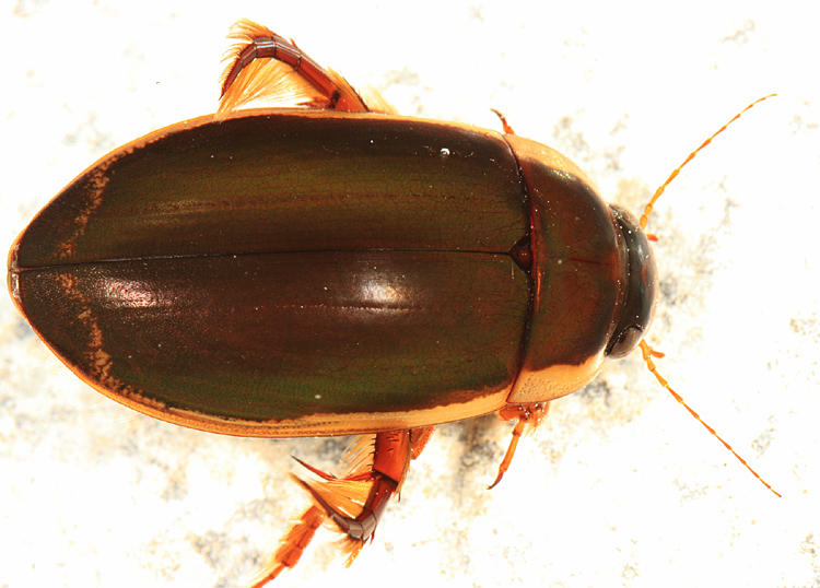 Understriped Diving Beetle (male) - Dytiscus fasciventris