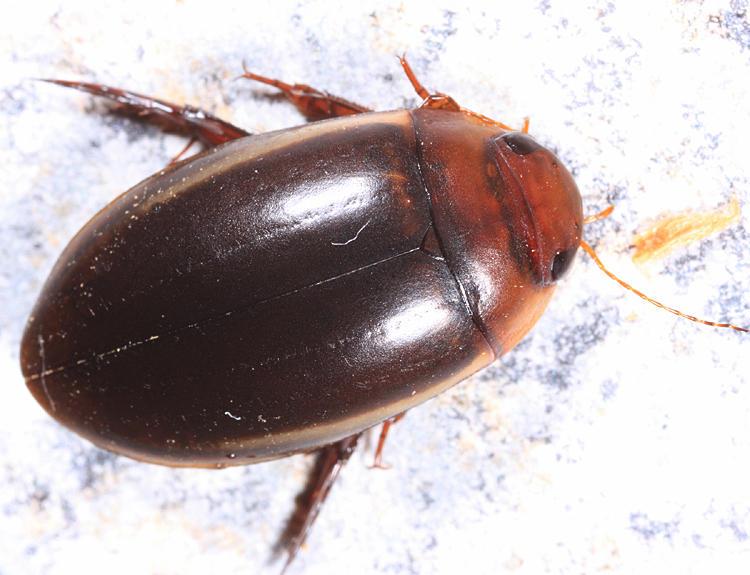 Hydaticus cinctipennis