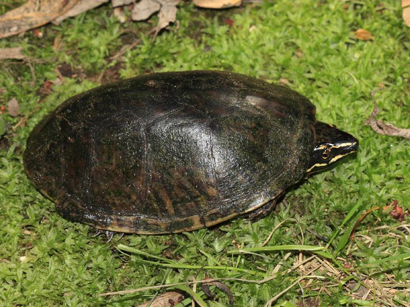 Musk Turtle (Stinkpot) - Sternotherus odoratus