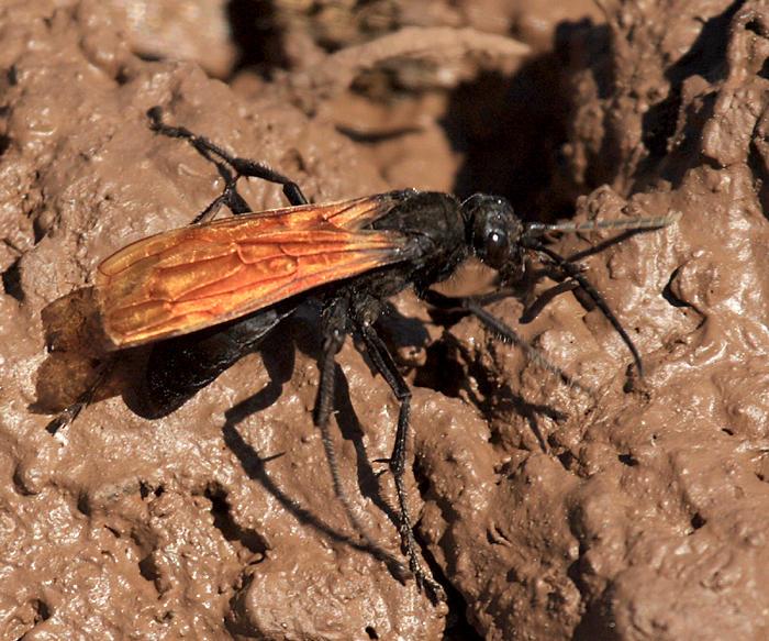 Tarantula Hawk - Pepsis sp.