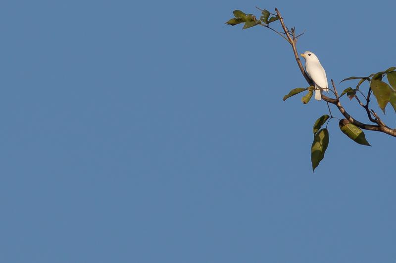 Yellow-billed Cotinga - Carpodectes antoniae