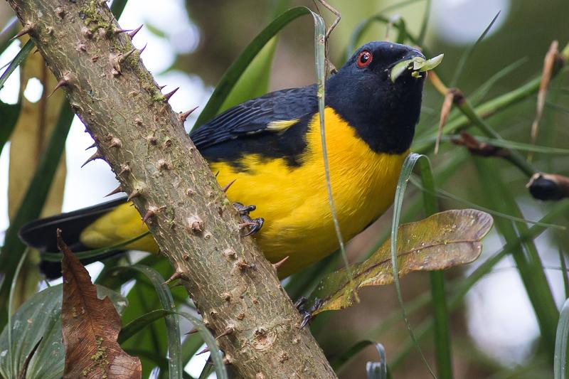 Blue-and-gold Tanager - Bangsia arcaei