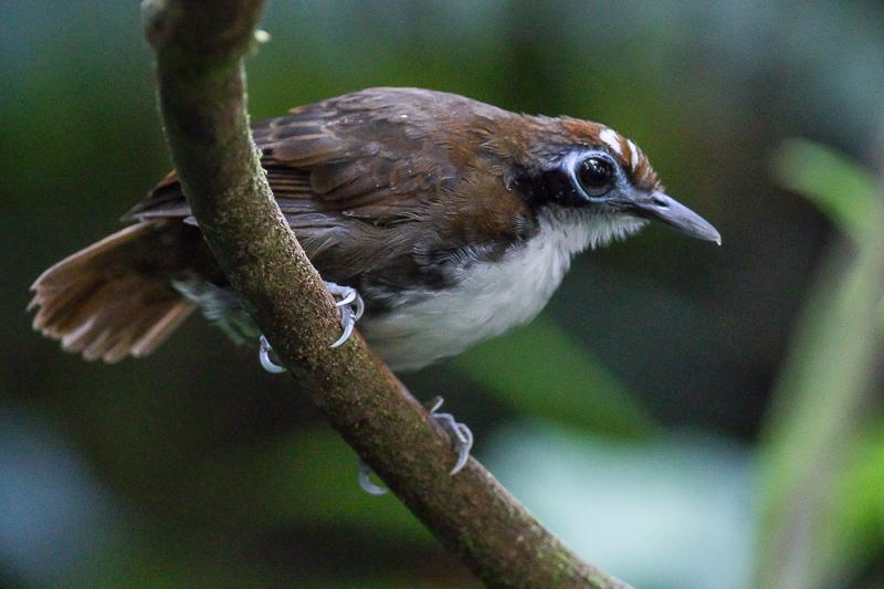 Bicolored Antbird -  Gymnopithys bicolor