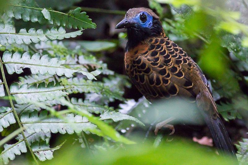 Ocellated Antbird - Phaenostictus mcleannani