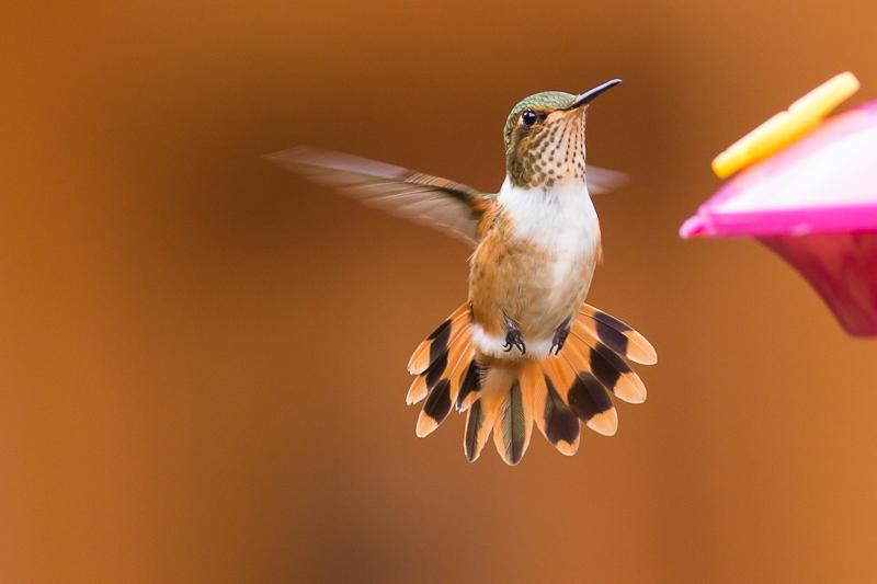 Scintillant Hummingbird - Selasphorus scintilla