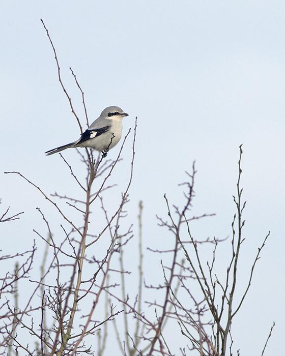 Klapekster / Great Grey Shrike