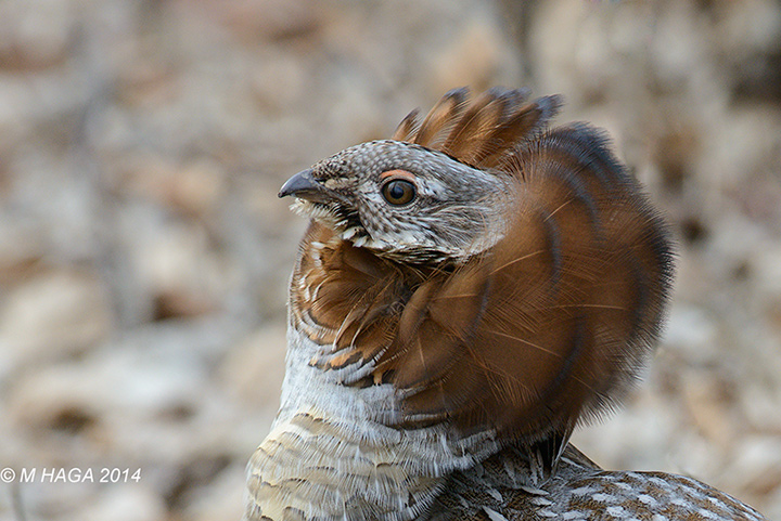 Portrait of a male Ruffed Grouse in full mating display, Pike Lake