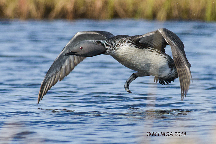 Red-throated Loon, Nome, Alaska