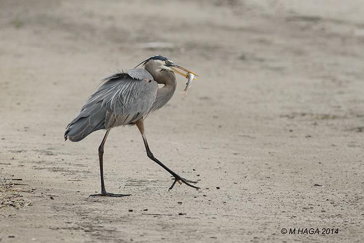 Great Blue Heron, Corpus Christi, Texas