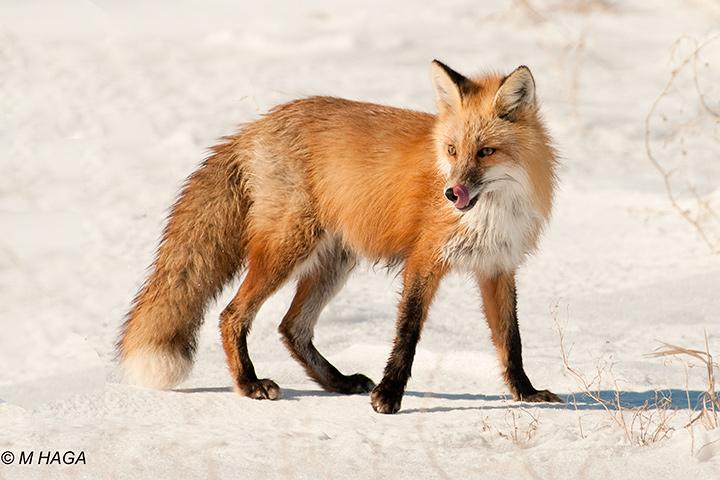 Red Fox, pregnant female near Clavet
