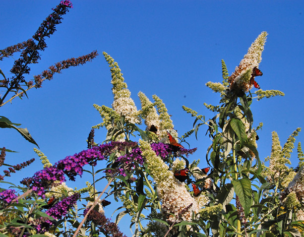 Buddleia with butterflies