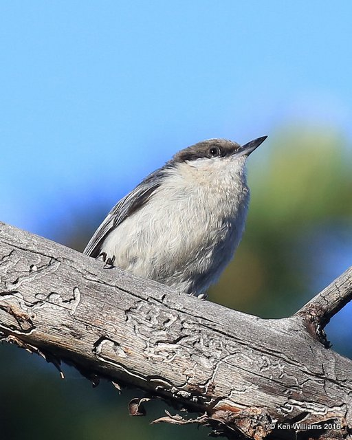 Pygmy Nuthatch, Rocky Mt NP, CO, 6_16_16_Jpa_20425.jpg