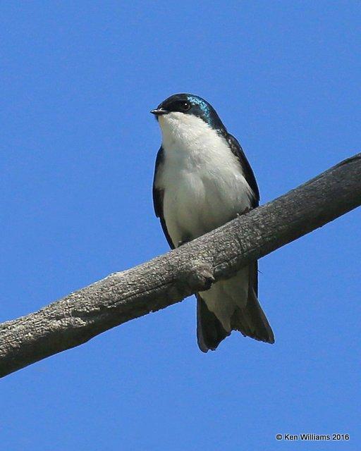 Tree Swallow, Rocky Mt NP,  6_16_2016_Jpa_20003.jpg