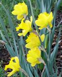 More Daffodils in My Garden