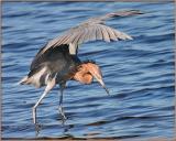 Reddish Egret  Feeding2