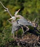 Great Blue Heron's