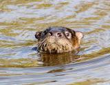 Otter 10