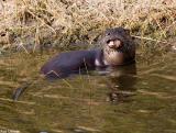 Otter 11