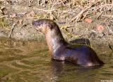 Otter 13