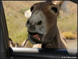 Hungry Donkeys on Route 66