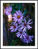 Climbing Fall Asters
