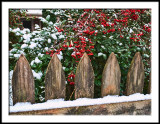 Fenced Pyracantha with Snow