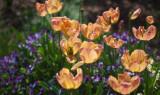 tulips with violas lens blur.jpg