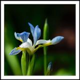 Blue Sky Iris 2