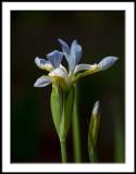 Blue Sky Iris 1