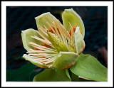Tulip Poplar Bloom