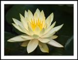 Waterlily-Texas Dawn