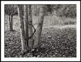 Poplar Capture