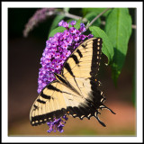 Tiger Swallowtail on Buddleia
