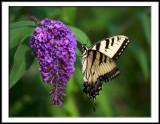 Tiger Swallowtail Upright