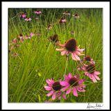 Last Stand Echinacea