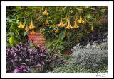 Angels Trumpet Garden