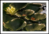 Waterlily with Leaves