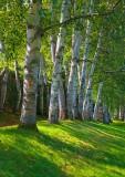 Birch at St Gaudens    0278