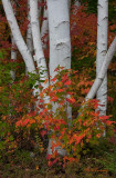 Colors on White  #0456 - Gorham, NH