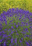 _MG_6718 Lavender Fireworks