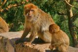 monkey talk!chiffa, blida