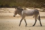 IMG_5420 - Somali wild ass