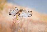 Redtail Hawk landing gear down
