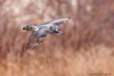Goshawk in flight