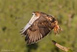 Redtail Hawk wide open