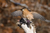 Coopers Hawk spread out over Pigeon