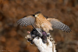 Coopers hawk spread out over kill