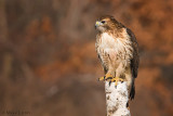 Redtail on perch