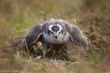 Goshawk over prey