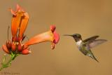 Ruby Throated Hummingbird near Trumpet Vine